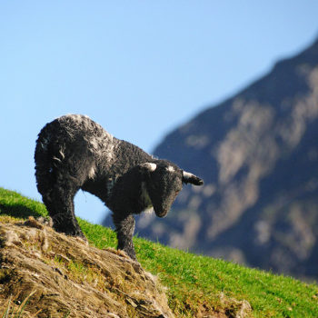 Spring lamb in Keswick, Lake District
