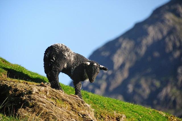 Spring lamb in Keswick, Lake District